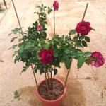 'Belle de Segosa' Rose Plant » Rose Plants