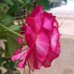 'Belle de Segosa' Rose Sideview » Rose Plants