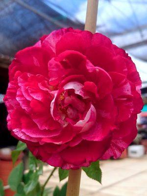 'Belle de Segosa' Rose