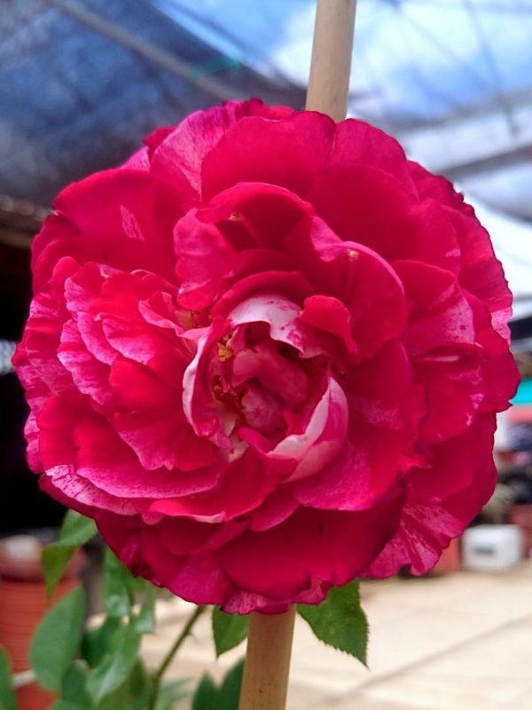 'Belle de Segosa' Rose » Rose Plants