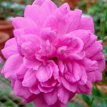 'Blue Boy' Rose