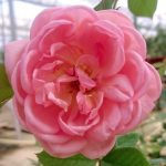 'Boscobel' Rose