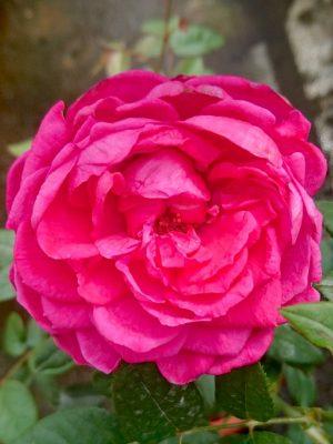 'Capability' Rose