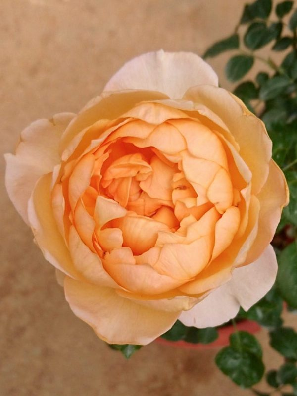 'Capri' Rose » Rose Plants