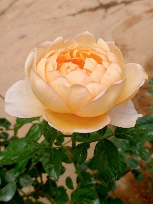 'Capri' Rose Sideview » Rose Plants