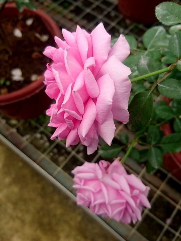 'Claire Marshall' Roses Sideview » Rose Plants