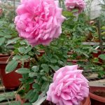 'Claire Marshall' Rose