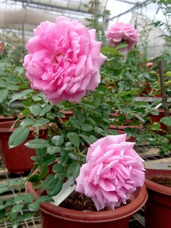 'Claire Marshall' Roses » Rose Plants