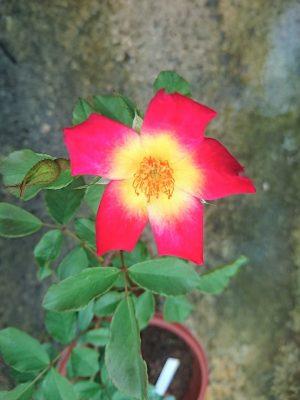 'Cocktail' Rose