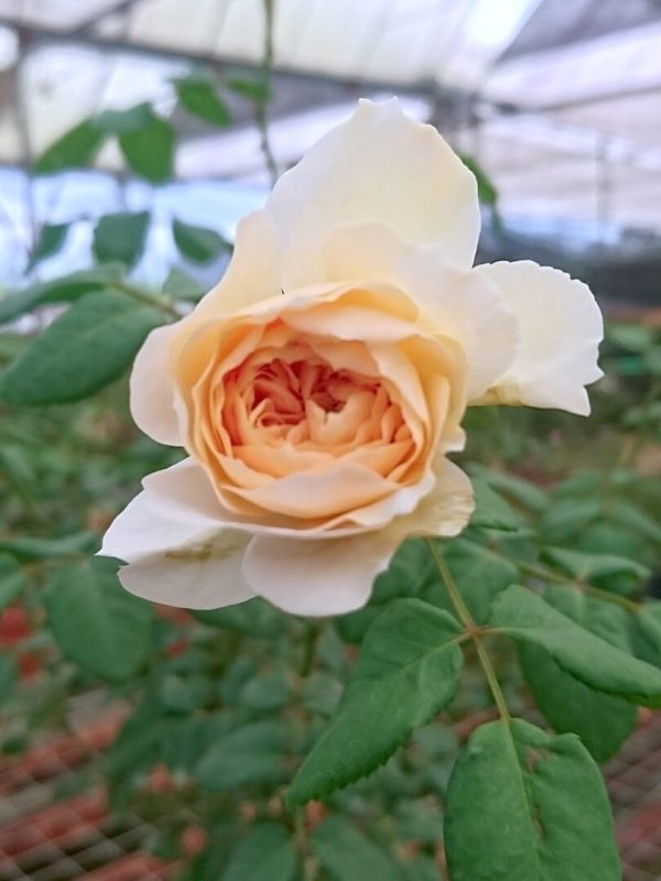 Rosa 'Crocus' Blooming with Apricot Core » Rose Plants