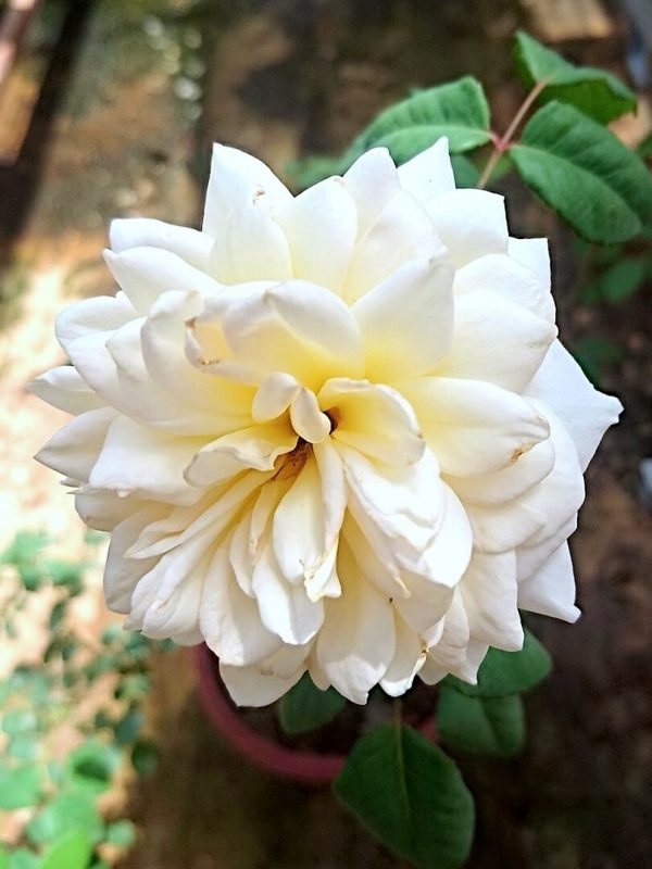 Rosa 'Crocus' » Rose Plants
