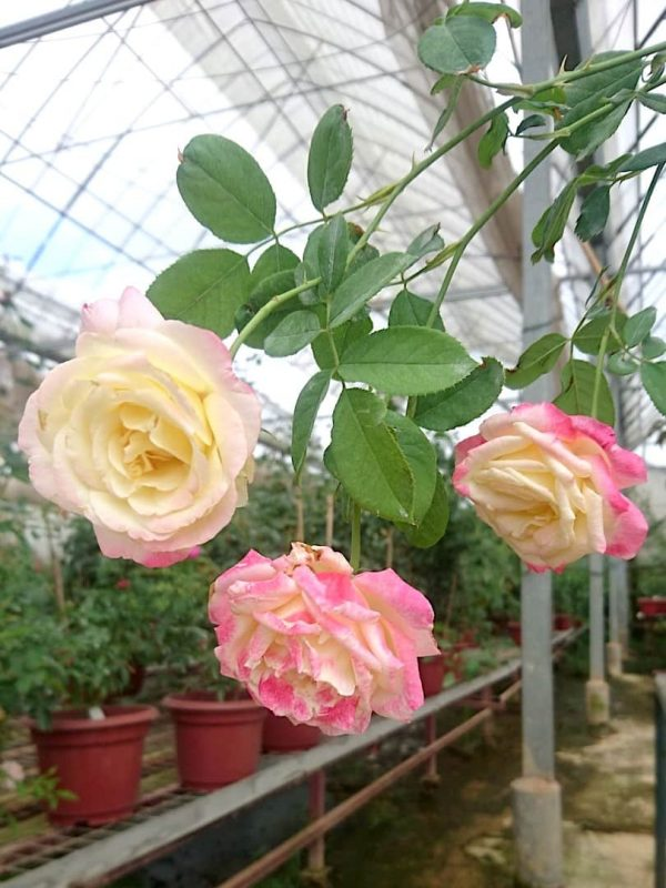 Rosa 'Double Delight' Roses Cluster-Flowered » Rose Plants