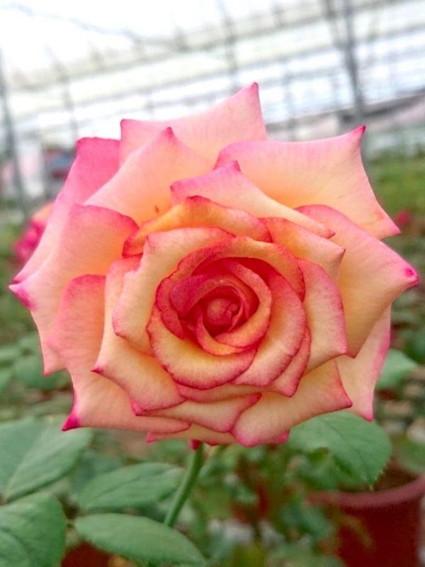 Rosa 'Dream Come True' » Rose Plants