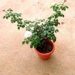 'Eustacia Vye' Rose Plant » Rose Plants