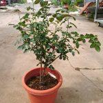 'Eve Wine Cellar' Rose Plant » Rose Plants