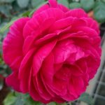 'Eve Wine Cellar' Rose
