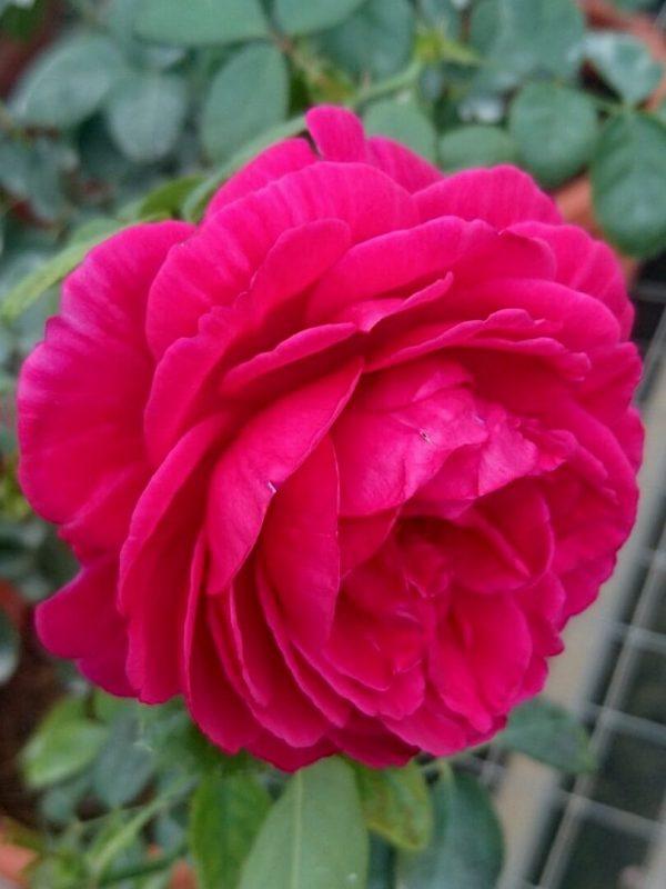 'Eve Wine Cellar' Rose » Rose Plants
