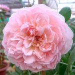 'Evelyn' Rose