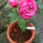 'For Your Home' Rose