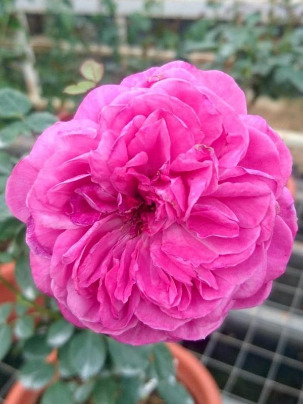 Japanese Rose 'Hector' » Rose Plants