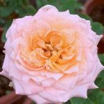 'Julieta' Rose