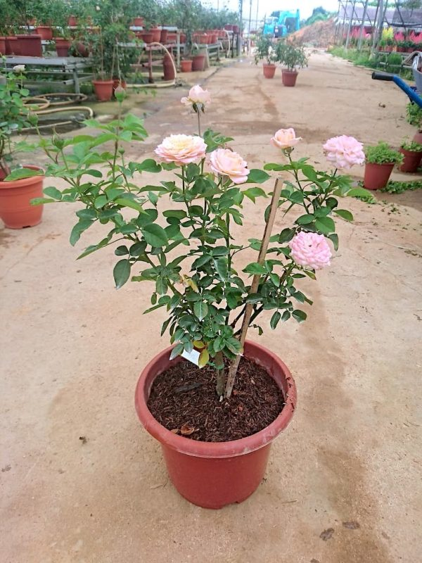 'Julieta' Rose Plant with 6 Flowers and 4 Buds » Rose Plants