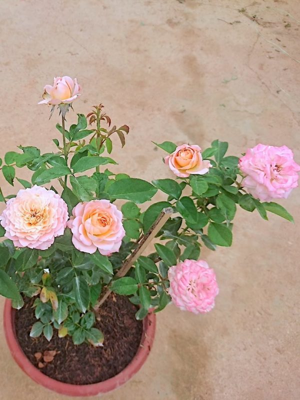 'Julieta' Roses - 6 Flowers and 4 Buds » Rose Plants