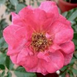 'Kaleidoscope' Rose