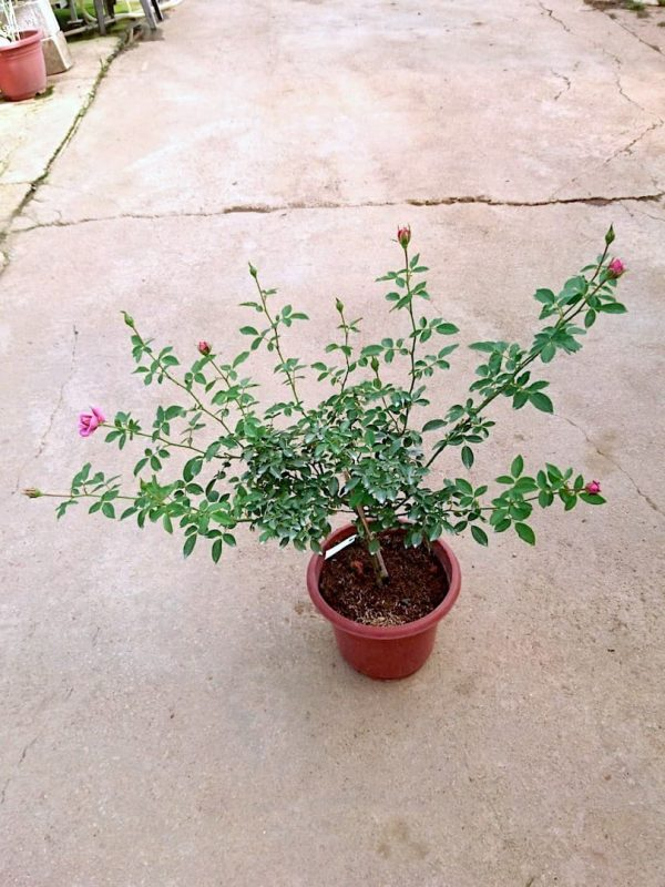 'Kaleidoscope' Rose Plant » Rose Plants