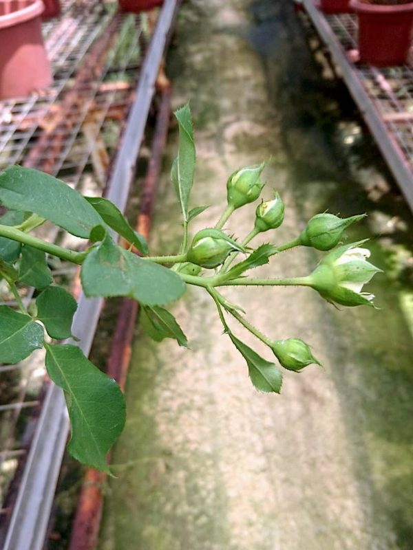 Rosa 'Kronprinsesse Mary' Cluster-Flowered Buds » Rose Plants