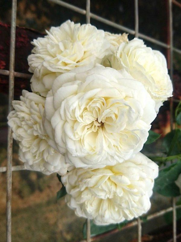 Rosa 'Kronprinsesse Mary' Cluster-Flowered Blooms » Rose Plants