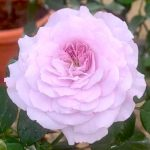 'Lilas' Rose
