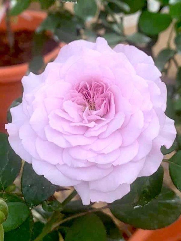 Japanese Rose 'Lilas' » Rose Plants