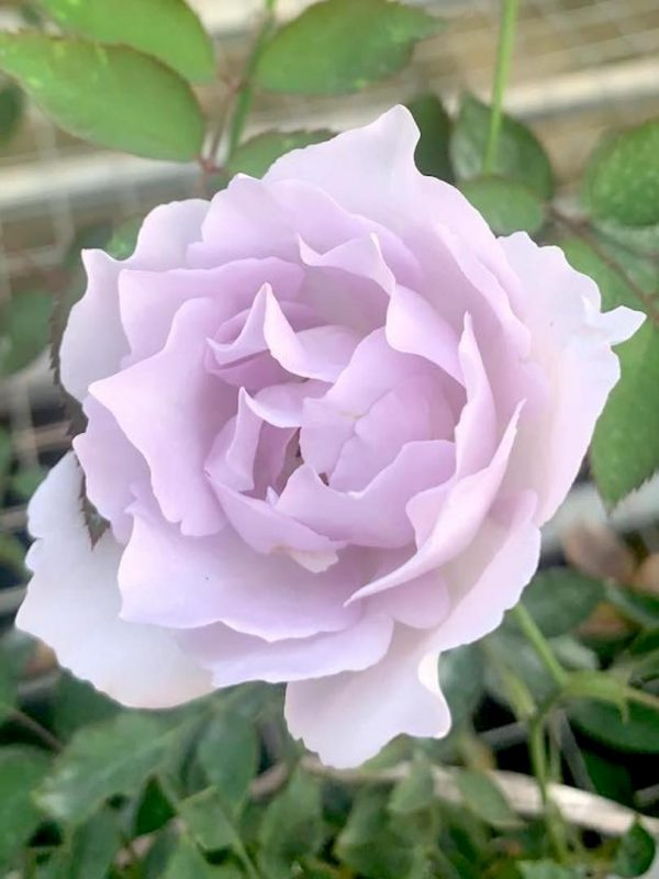 Japanese Rose 'Lucifer' » Rose Plants