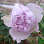 'Lucifer' Rose