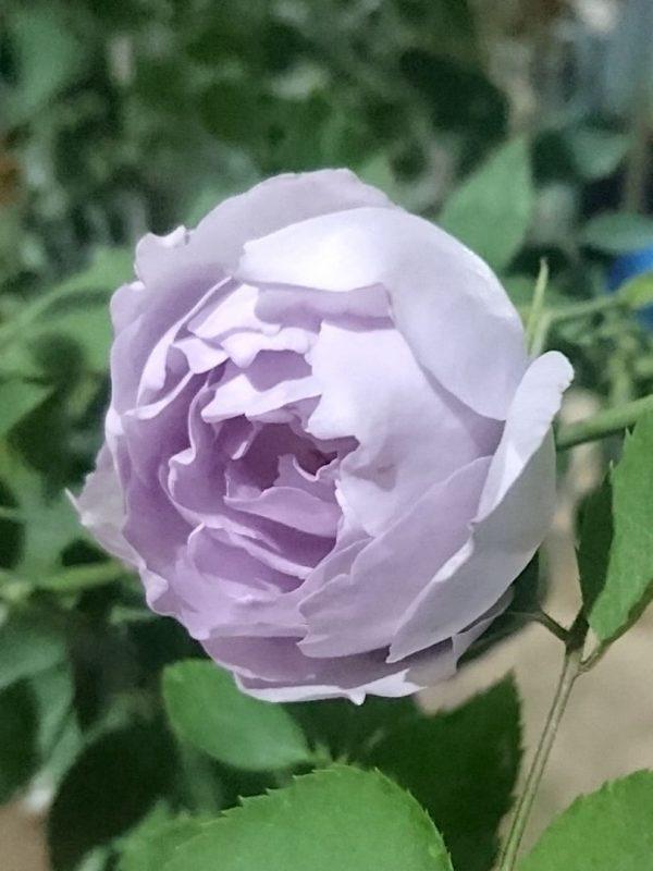 Japanese Rose 'Lucifer' Sideview » Rose Plants