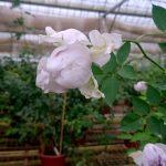 Japanese Rose 'Lucifer' Blooming » Rose Plants
