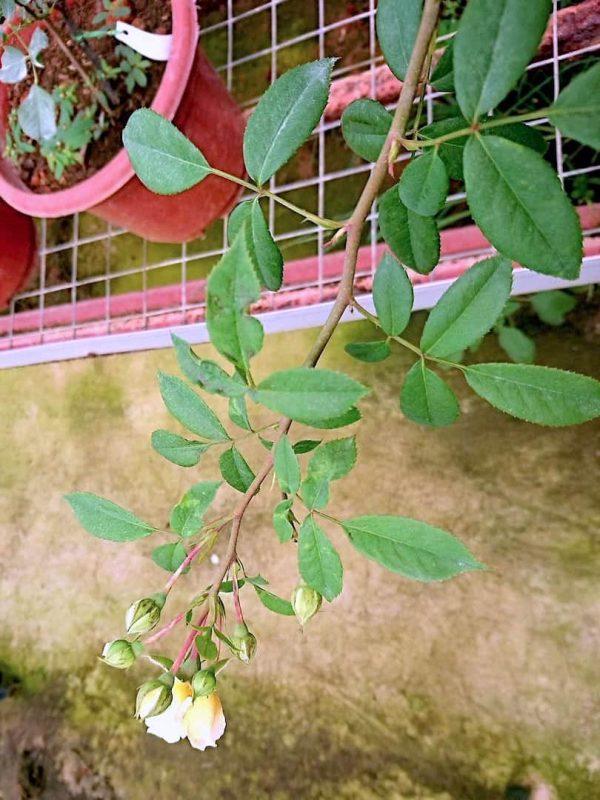 'Marc-Antoine Charpentier' Rose Buds » Rose Plants