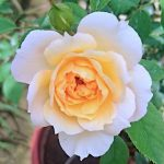 'Marc-Antoine Charpentier' Rose