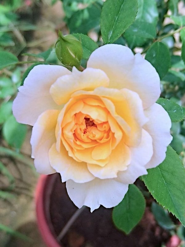 'Marc-Antoine Charpentier' Rose » Rose Plants