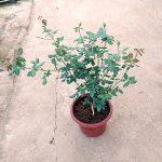 'Masora' Rose Plant » Rose Plants
