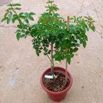 'Miranda' Rose Plant » Rose Plants