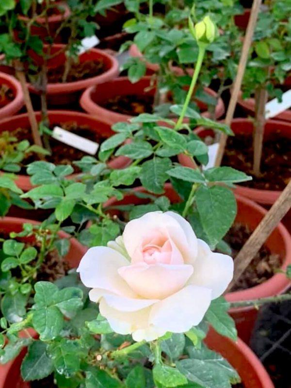Japanese Rose 'Moko Moko' Blooming » Rose Plants