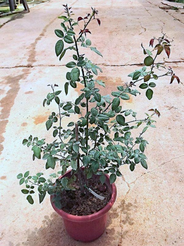 'Moko Moko' Rose Plant » Rose Plants