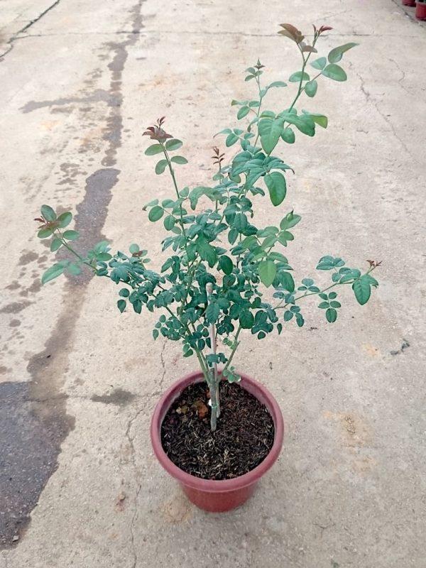 'Mon Coeur' Rose Plant » Rose Plants