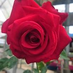 'Nicole' Rose