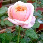 'Notting Hill' Rose