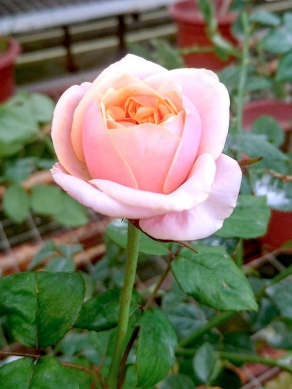 'Notting Hill' Rose Blooming » Rose Plants