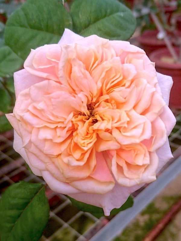 'Notting Hill' Rose » Rose Plants