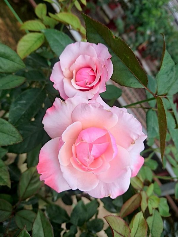 'Our Lady of Guadalupe (OLOG)' Roses » Rose Plants